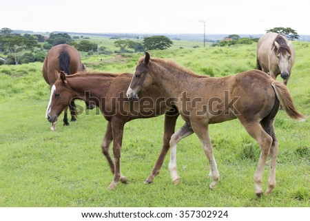 young horse feeding on pasture in brazil