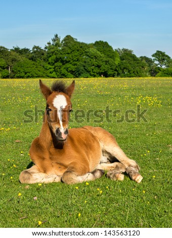 Young Horse Foal Sitting in Green Field