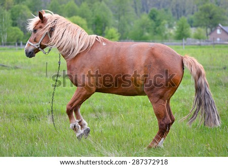 Young horse grazing in the meadow/Chestnut horse/Young horse grazing in the meadow - stock photo