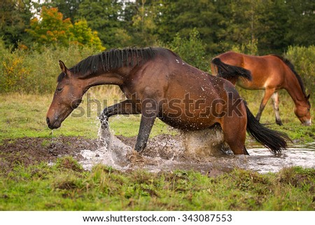 Young horse jumps out of the water