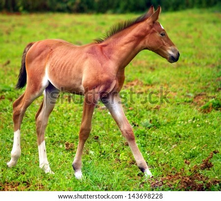 Young horse running on the green meadow.