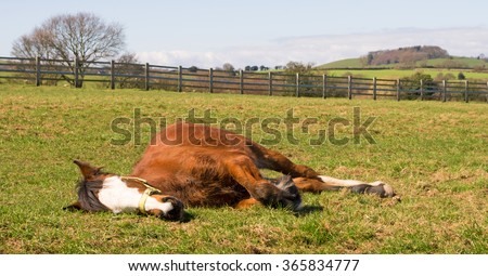 Young horse sleeping in the sunshine