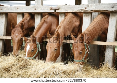 Young horses eating fresh hay between the bars of an old wooden fence - stock photo