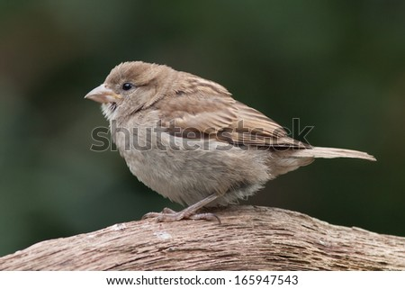 Young housesparrow sitting on a branch