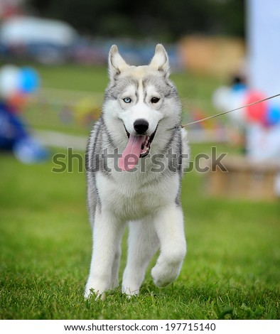 young husky - stock photo