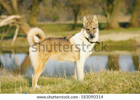 Young husky dog  on the open air