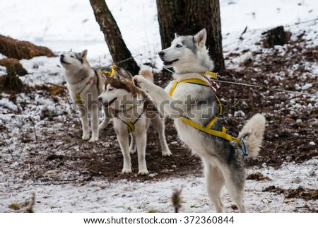 Young Husky dog stands on its hind legs (shallow DOF) - stock photo