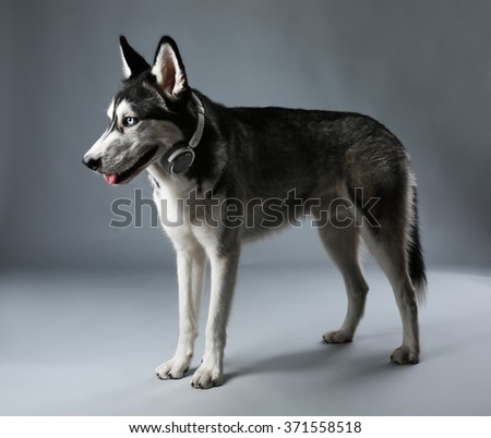 Young Husky in headphones on grey background