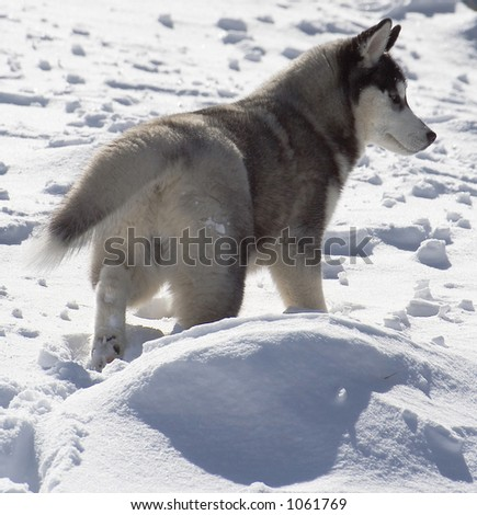 young husky in snow from behind