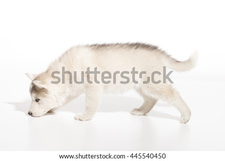 Young husky puppy side view, walking, smelling. White background almost isolated.
