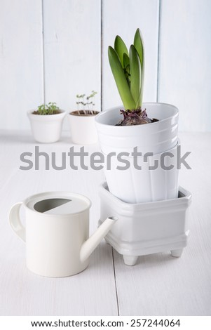 Young hyacinth bulb (with  leaves and buds) in a flowerpots and watering can on white background. - stock photo