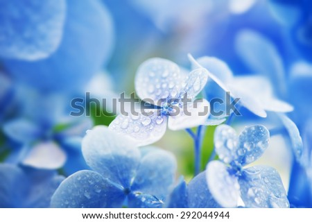 Young Hydrangea flower with dew. Extremely shallow depth of field for dreamy feel. - stock photo