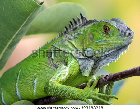 Young Iguana in A Tree