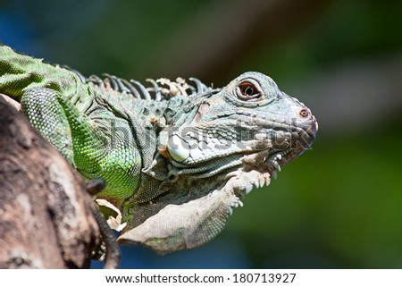 Young iguana in the zoo