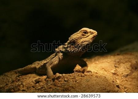 young iguana on black background - stock photo