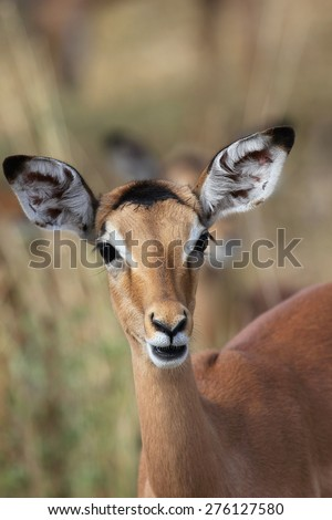 Young Impala staring in front of her - stock photo