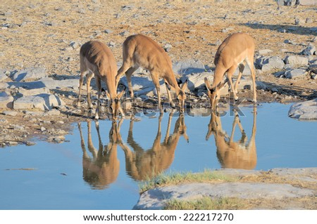 Young Impalas drinking at Okaukeujo in the Etosha National Park