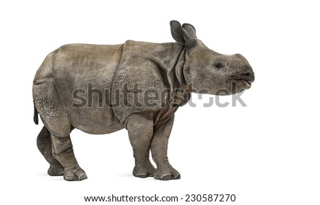 Young Indian one-horned rhinoceros (8 months old) - stock photo