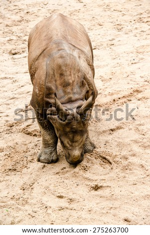 Young Indian one-horned rhinoceros (6 months old) on sandy ground - stock photo