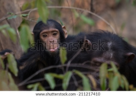 Young infant chimp riding on back of mother in dense forest - stock photo