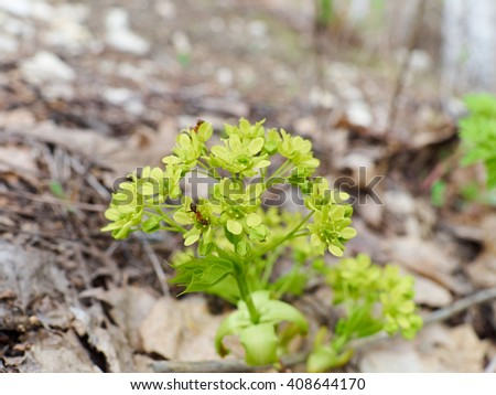 Young inflorescence close-up.  leaves and buds blooming on a grape . Spring buds sprouting.       - stock photo