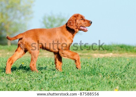 young Irish Setter Dog Puppy 4 months - stock photo