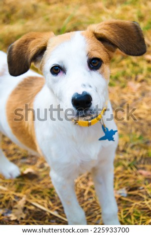 young Istrian Shorthaired Hound dog standing in wood - stock photo