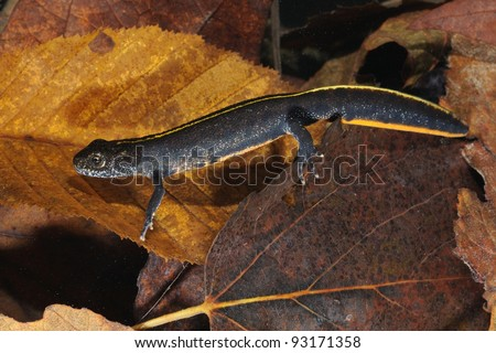 Young Italian Crested Newt in its underwater habitat - stock photo