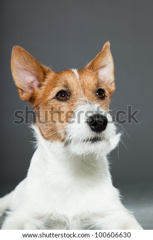 Young jack russell dog isolated on grey background. Studio portrait.