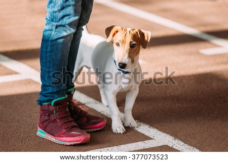 Young Jack Russell Terrier Dog on Floor at  feet of man. Small terrier