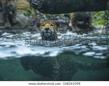 Young Jaguar swimming in the water looking towards the camera - stock photo