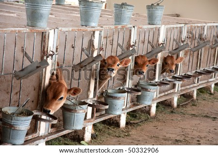 young jersey calves waiting for their mothers that are being milked on a dairy farm - stock photo