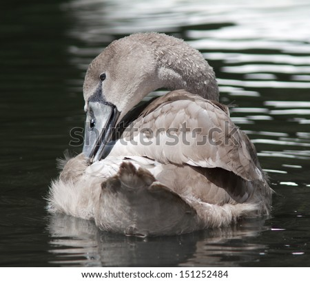 Young juvenile Swan preening. - stock photo