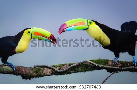 Young Keel Billed Toucan is fed