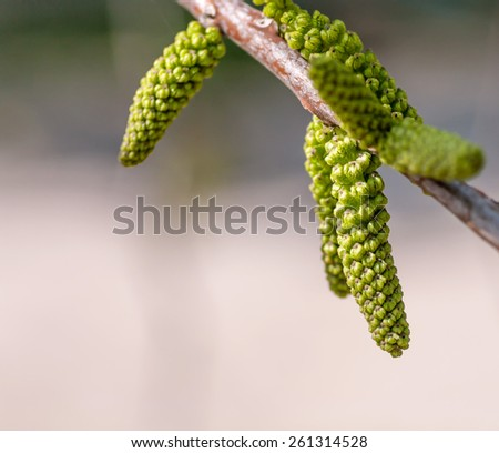 young kidney of the walnut tree - stock photo