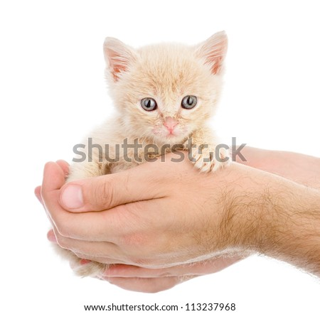 young kitten on a hand. isolated on white background - stock photo