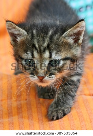 Young kitten. Tabby kitten commits careful steps. - stock photo
