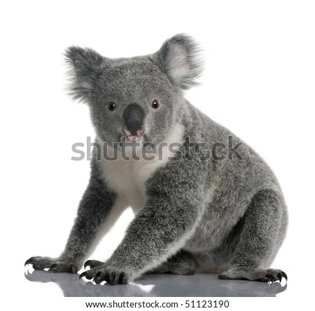 Young koala, Phascolarctos cinereus, 14 months old, sitting in front of white background