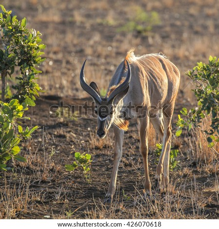 Young kudu bull walking over arid ground at sunset with rim light