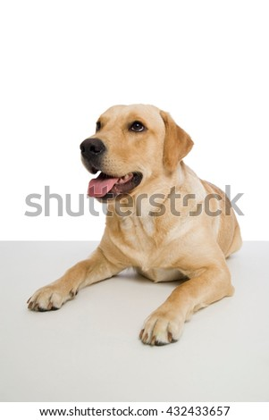 Young labrador retriever dog on white background