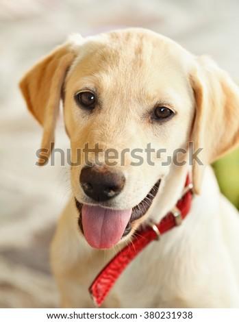 Young labrador retriever dog puppy looking in the camera - closeup - stock photo