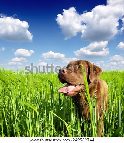 young labrador retriever in nature - stock photo