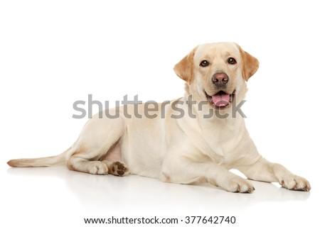 Young Labrador retriever lying on a white background - stock photo