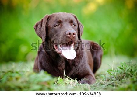 young labrador retriever puppy smiling - stock photo