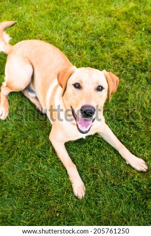 Young Labrador Retriever Relaxing on Green Grass After Walk