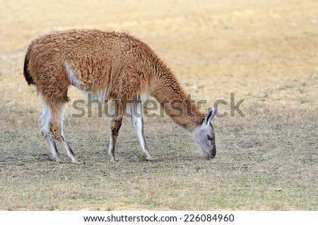 Young lama stay on the field