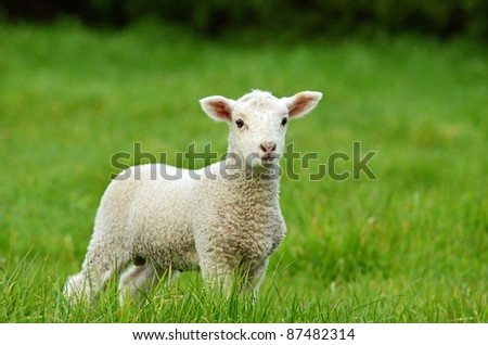 young lamb in green grass - stock photo