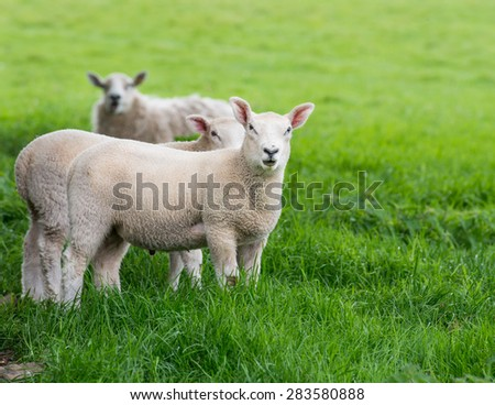 Young Lamb looking at the camera with its mouth partially open - stock photo