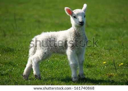 young lamb on green meadow - stock photo