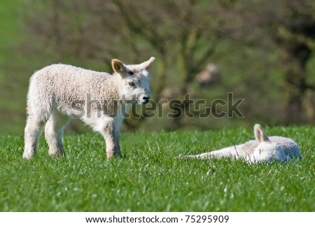 Young lamb walking towards where another is sleeping